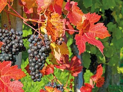 Conseils beauté - Vigne Rouge et Marron d'Inde, les experts jambes ...