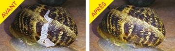 Coquille d'escargot avant-après